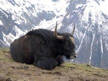 Lying yak Royalty Free Stock Photography