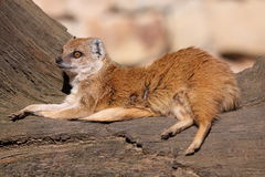 Lying yellow mongoose Royalty Free Stock Images
