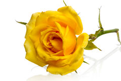 Lying yellow rose Royalty Free Stock Photography