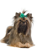 Lying Yorkshire Terrier with green bow Royalty Free Stock Photos