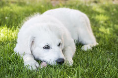Lying young Golden Retriever Stock Photo