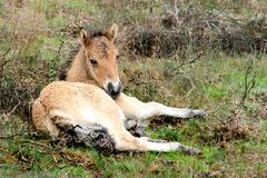 A lying young, little Icelandic foal. Icelandic horses are living in the dutch scenic area, the Veluwe. Their little foal is resting, hidden in the high Royalty Free Stock Photo
