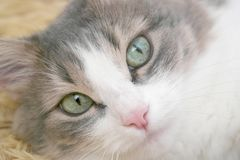 Lyinge cat Royalty Free Stock Image