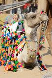 Lyinng colourful decorated camel in nomadic camp,Pushkar,Thar desert Royalty Free Stock Photography