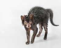 Lykoi Cat (Werewolf Cat) Royalty Free Stock Photography