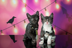 Lykoi Kittens (Werewolf Cats) Royalty Free Stock Images