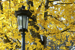 Lykta mot bakgrund av gula lönnlöv royaltyfria bilder