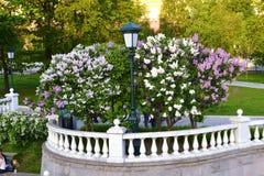Lykta och en lila buske Royaltyfria Foton