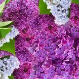 Lylac flowers background Stock Photography