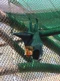 Lyle latający lis Zdjęcie Stock
