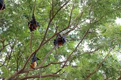 Lyle`s flying fox or Bat fruit Royalty Free Stock Photo