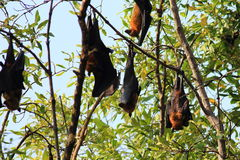 Lyle's flying fox Royalty Free Stock Photo