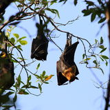 Lyle's flying fox Royalty Free Stock Images