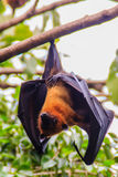 Lyle's flying fox,  Pteropus vampyrus, Pteropus lylei or Khangka Stock Images