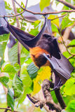 Lyle's flying fox,  Pteropus vampyrus, Pteropus lylei or Khangka Royalty Free Stock Images