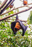 Lyle's flying fox,  Pteropus vampyrus, Pteropus lylei or Khangka Royalty Free Stock Photography