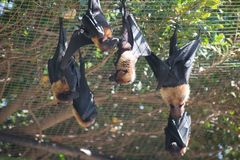 Lyle`s flying foxes. Royalty Free Stock Image