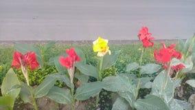 lyli del canna de la flor en el jardín botánico de Bali imagen de archivo libre de regalías