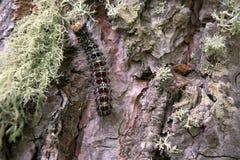 Lymantria dispar毛虫移动在森林里 免版税库存照片