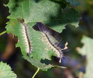 Lymantria dispar caterpillars. European gypsy moth on a grape leaf. Royalty Free Stock Images
