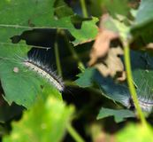 Lymantria dispar caterpillars. European gypsy moth on a grape leaf. stock image