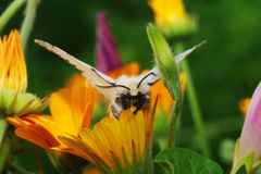 Lymantria dispar. Silk Moth on yellow flower Royalty Free Stock Photos