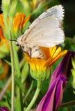 Lymantria dispar. Silk Moth on yellow flower Royalty Free Stock Images