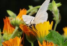 Lymantria dispar. Silk Moth on yellow flower Stock Photos