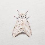 Lymantria marginalis moth Royalty Free Stock Photos