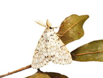 Lymantria moth Royalty Free Stock Image