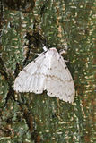 Lymantria xylina Lizenzfreie Stockfotos