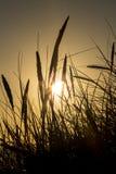 Lyme trawa w sylwetce przeciw położenia słońcu zdjęcie stock
