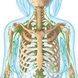 Lymfatisch systeem royalty-vrije illustratie