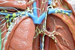 lymfatisch systeem Royalty-vrije Stock Afbeelding