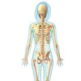 Lymfatisch systeem van vrouwelijk lichaam vector illustratie