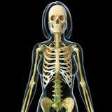 Lymfatisch systeem van vrouwelijke lichaams isolatedwith zwarte vector illustratie