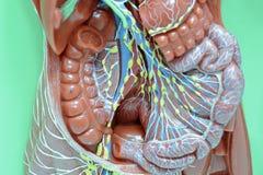 lymfatiskt system arkivfoto