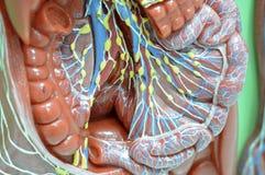 lymfatiskt system arkivbild