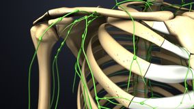 Lymph nodes with Skeleton Upper Anterior view stock image