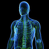 lymphatic system Royalty Free Stock Image