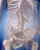 The lymphatic system - the abdomen Royalty Free Stock Photos