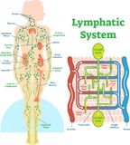 Lymphatic system anatomical vector illustration diagram, educational medical scheme.