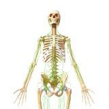 Lymphatic system av den male fulla huvuddelen Arkivfoton