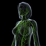 Lymphatic system av kvinnlign som isoleras på black stock illustrationer