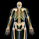 Lymphatic system with back side of skeleton. Human anatomy illustration of the Lymphatic system with back side of skeleton Royalty Free Stock Images