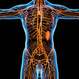 Lymphatic system Stock Photos