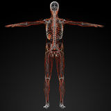 Lymphatic system Stock Images