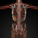 Lymphatic system Stock Photography