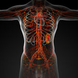 Lymphatic system Stock Image