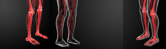 Lymphatic system. 3D rendering lymphatic system visible leg stock photos